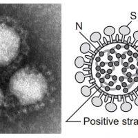 コロナウイルス 感染者数